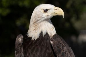 Hannibal-the-bald-eagle-Busch-Wildlife-Sanctuary-Photo-by-Mark-Cook