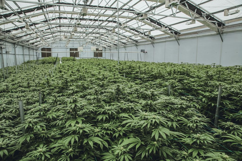 Inside a greenhouse at the One Plant cultivation facility in Indiantown