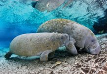 Mother manatee and her calf, photo by Paul Nicklen