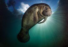 Sun illuminated manatee Paul Nicklen